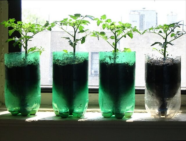 Tomatoes in Recycled Pop Bottle Planters