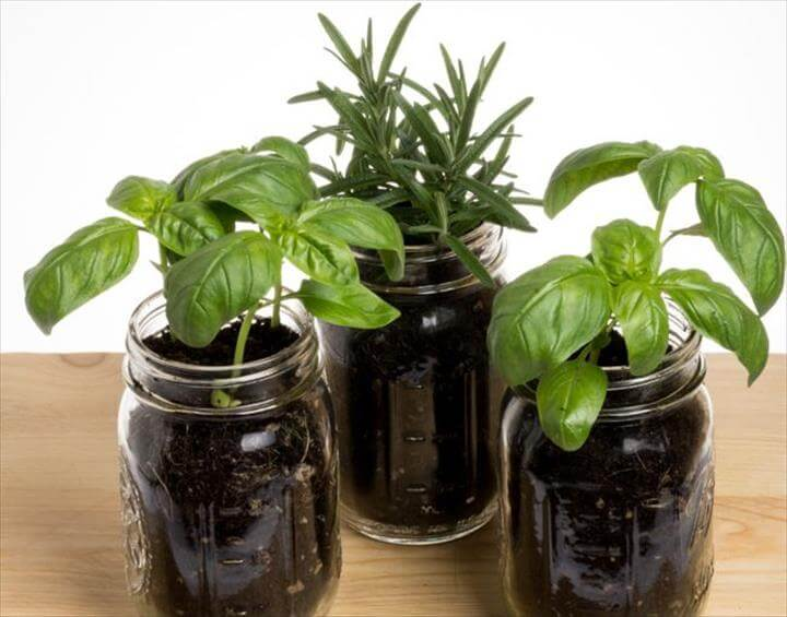 Mason jars as herb planters